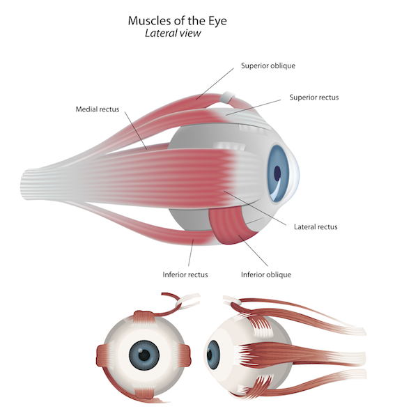 Anatomy and Actions of the Extraocular (Eye) Muscles