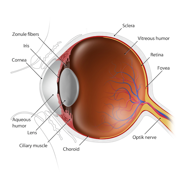 Anatomy of the lens of the eye