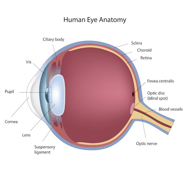 Retinopathy of Prematurity (ROP) Human Eye Anatomy